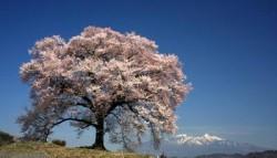 s_08鰐塚の桜-1